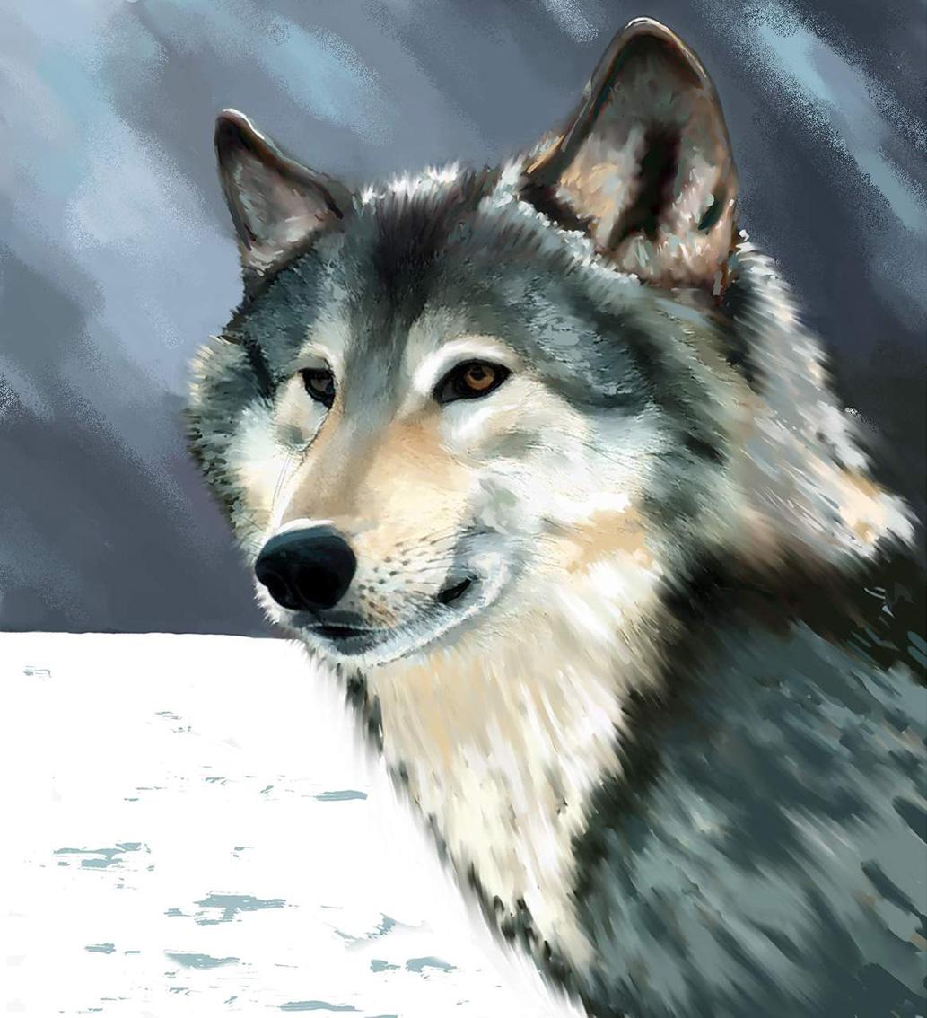 Loup-Illustration-animalière - Dominique Evangelisti